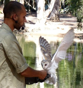 barn owl Animal Training