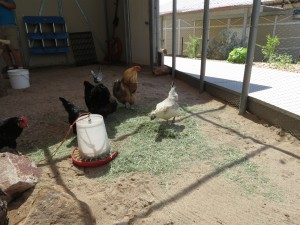 Chicken foraging in hay, Sarah Neil (1)