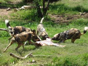 Painted dogs carcass feeding, Steve Robinson
